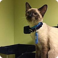 Adopt A Pet :: Mozart - The Colony, TX