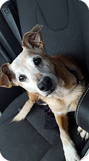 Jack Russell Terrier Mix Dog for adoption in Enid, Oklahoma - Buddy