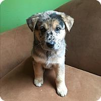 Adopt A Pet :: Calypso - Charlotte, NC