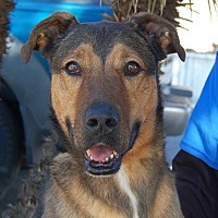 Shepherd (Unknown Type) Mix Dog for adoption in Las Vegas, Nevada - Ringo