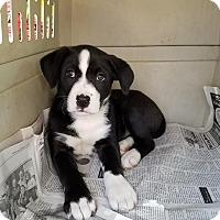 Adopt A Pet :: Katie (ADOPTED) - Burlington, VT