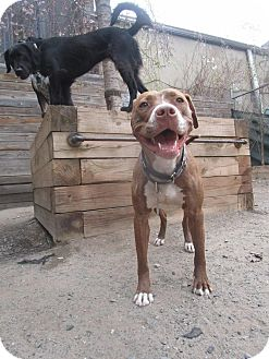 American Pit Bull Terrier Mix Dog for adoption in Jersey City, New Jersey - Amber Tamblyn