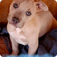 Adopt A Pet :: Remington - tucson, AZ