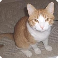 Domestic Shorthair Cat for adoption in Miami, Florida - Melcocha
