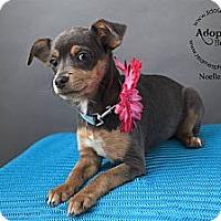 Adopt A Pet :: Noelle Crush - Shawnee Mission, KS