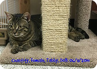 Domestic Shorthair Cat for adoption in Siler City, North Carolina - Chasity