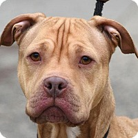 Adopt A Pet :: SCOOBY - New Haven, CT