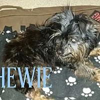 Adopt A Pet :: Chewie - Cheney, KS