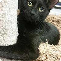 Adopt A Pet :: Screech - Schaumburg, IL
