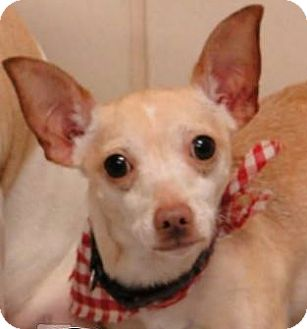 Chihuahua Dog for adoption in Mira Loma, California - Moe in Texas