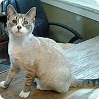 Adopt A Pet :: Snowtoes - Chesapeake, VA