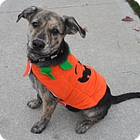 Adopt A Pet :: Joey - Westfield, IN