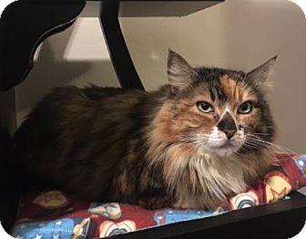 Domestic Shorthair Cat for adoption in Bellevue, Washington - Consuela