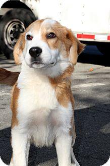 St. Bernard Mix Puppy for adoption in Bedminster, New Jersey - Bernard