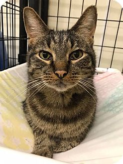 Domestic Shorthair Cat for adoption in Maryville, Missouri - Jason