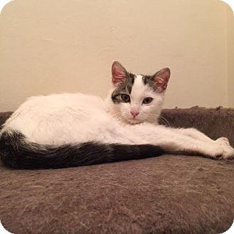 Domestic Shorthair Kitten for adoption in Sherman Oaks, California - Gigi