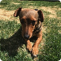 Adopt A Pet :: Poppy (FORT COLLINS) - Fort Collins, CO