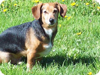 Dachshund/Chihuahua Mix Dog for adoption in Portland, Oregon - CHEWIE
