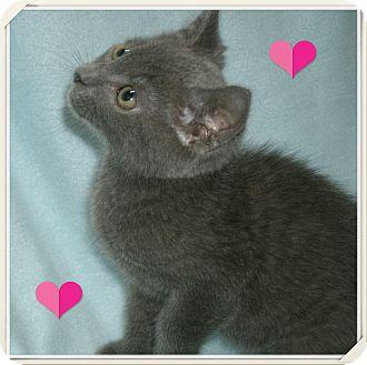 Russian Blue Kitten for adoption in Bradenton, Florida - Petunia