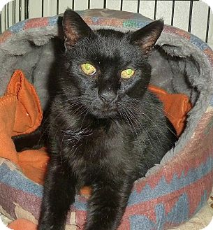 Domestic Shorthair Cat for adoption in Carmel, New York - Midnight