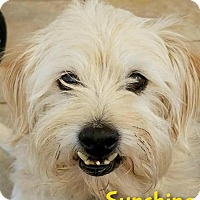 Adopt A Pet :: Sunshine (Sunny) - Phoenix, AZ