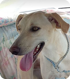 Labrador Retriever Mix Dog for adoption in Preston, Connecticut - Drake AD 10-02-16