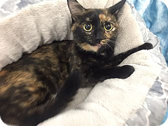 Domestic Shorthair Cat for adoption in Highland Park, New Jersey - Alice W
