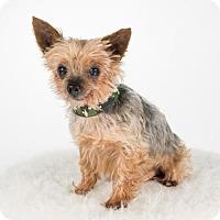 Yorkie, Yorkshire Terrier Dog for adoption in St. Louis Park, Minnesota - Vigor