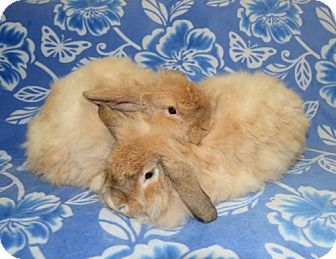 American Fuzzy Lop Mix for adoption in Chesterfield, Missouri - Kennedy and Kirkland