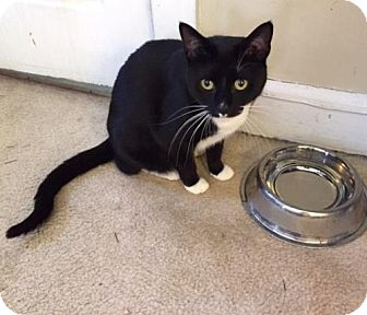 Domestic Shorthair Cat for adoption in Philadelphia, Pennsylvania - Jazz & ChaCha