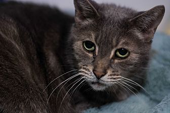 Domestic Shorthair Cat for adoption in Austintown, Ohio - Graylee
