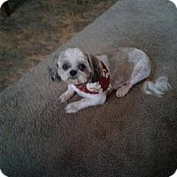 Adopt A Pet :: Bam Bam - Bartlett, TN