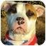 Photo 1 - American Pit Bull Terrier/Bull Terrier Mix Dog for adoption in Burbank, California - Maxine - PLS READ STORY