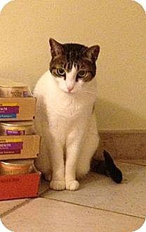 Domestic Shorthair Cat for adoption in Miami, Florida - Pico