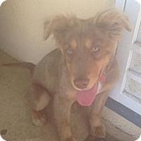 Adopt A Pet :: Ozzie - Oceanside, CA