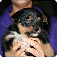 Adopt A Pet :: Johnnie 5 - Westfield, IN
