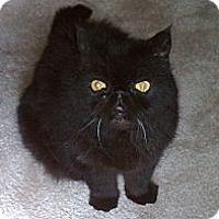 Adopt A Pet :: Samson - Beverly Hills, CA