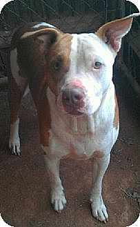 American Pit Bull Terrier Mix Dog for adoption in Blanchard, Oklahoma - Lucky