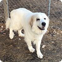 Adopt A Pet :: Sweetie ADOPTION PENDING - Bloomington, IL