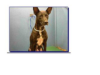 German Shepherd Dog Mix Dog for adoption in Littleton, Colorado - JEWELL