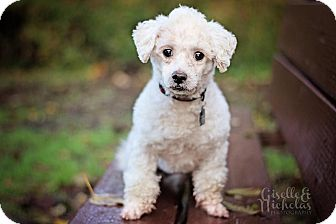 Poodle (Miniature) Mix Dog for adoption in Sheridan, Oregon - Bixby