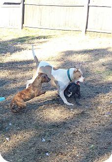 American Bulldog/Pointer Mix Dog for adoption in Greenville, North Carolina - Holly