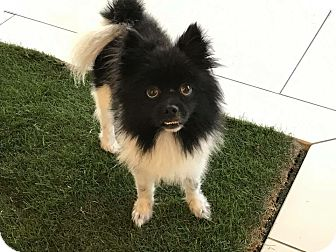 Pomeranian Dog for adoption in Sun valley, California - Oreo
