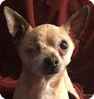 Chihuahua Mix Dog for adoption in San Leandro, California - Odin