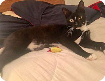 Domestic Shorthair Kitten for adoption in Brooklyn, New York - Jack is Just Wonderful
