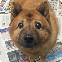 Adopt A Pet :: Bella-Bear - Oak Ridge, NJ