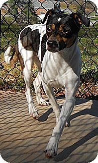Jack Russell Terrier Dog for adoption in Columbia, Tennessee - Jenny and Jessie