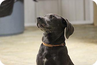 Weimaraner Mix Puppy for adoption in Brattleboro, Vermont - Rock