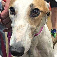 Adopt A Pet :: Lily - Oklahoma City, OK