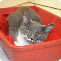 Domestic Shorthair Cat for adoption in East Smithfield, Pennsylvania - Pistachio Mustachio